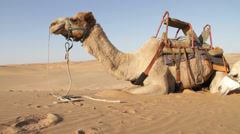 Dromedary in the desert - stock footage