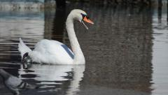 Swan Opens his Mouth and Swims Away Stock Footage