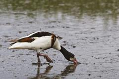 Common Shelduck, Tadorna tadorna Stock Photos