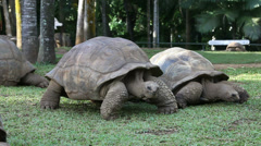 Two Big Seychelles turtles in park. Mauritius. Stock Footage