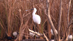 Billed Beaked Bird Sitting on Branch in Swamp Stock Footage