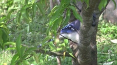Blue Jay Fly Away Stock Footage