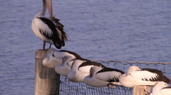 Pelicans cleaning and sleeping Stock Footage