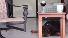 Rottweiler dog laying under a table, evening relaxation Stock Footage