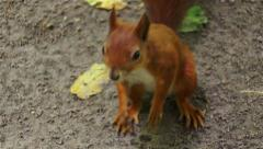 Squirell runs in the forest Stock Footage