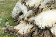 Stock Photo of wool of sheaved sheep