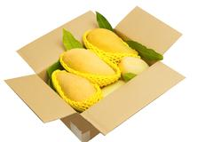 ripped mangoes in a paper box ready to export. - stock photo
