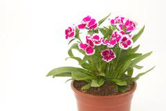 dianthus chinensis flowers in pot - stock photo