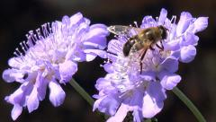 Wildlife colorful insect hoverfly on purple flower Stock Footage