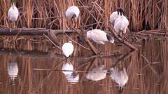 Ibis birs in swamp Stock Footage