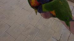 4K UHD 2 shot Lorikeet colorful bird feed from hand friendly -2 Stock Footage