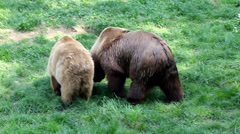 Bears making love and fighting Stock Footage