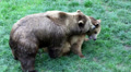Close up of bears making love Footage