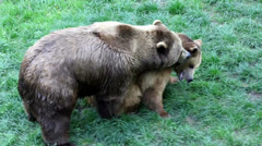Close up of bears making love - stock footage