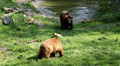 A pair bears with male coming out of water and shaking his wet fur Footage
