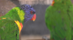 4K UHD bobbing head lorikeet birds in action - 4 Stock Footage