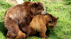 Close up of pairing bears in grassy forest landscape Stock Footage