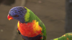 4K UHD close up pair of lorikeet birds in action - 5 Stock Footage