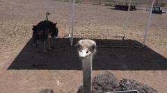 4K UHD ostrich close up beak eyes large eyelashes cute funny Stock Footage