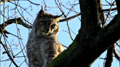 Close up of a tired lynx sitting on a tree Stock Footage