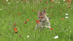 A baby coyote in a field 2 Stock Footage