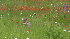 A baby coyote in a field Stock Footage