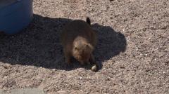 4K UHD Desert Prairie Dog munching on peanuts shade - 1 Stock Footage