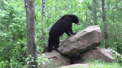 a bear in the woods 6 - stock footage