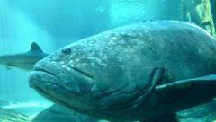 A Giant Brindle Bass Fish Swims Past the Camera Stock Footage
