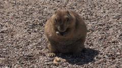 4K UHD Desert Prairie Dog munching on peanuts sun - 1 Stock Footage