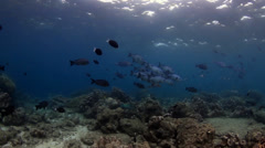Blue sea perch Stock Footage