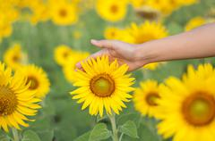 Yellow sunflower and female hands Stock Photos