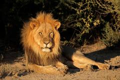 Big male African lion Stock Photos