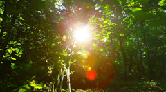 morning in the forest. the sun's rays pass through trees - stock footage