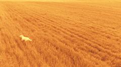 Setter running over orange Stock Footage