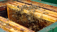 Stock Video Footage of Inserting honeycomb in the beehive