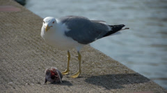 Seabird eating a fish selective focus Stock Footage