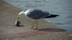 Seagull pecking dead fish head Stock Footage