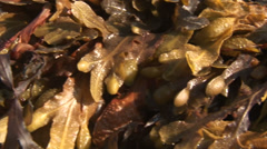Seaweed tracking shot close up right to left background - stock footage