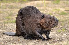 North American Beaver on ground - stock photo