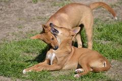 Two young dingos - stock photo