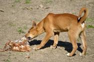 Stock Photo of Dingo eating poultry