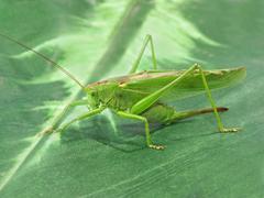 green locust.closeup. - stock photo