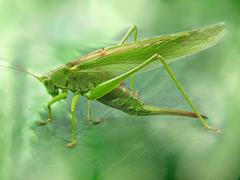 Big green locust taken closeup. Stock Photos
