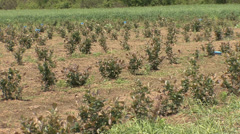 Chokeberry young orchard Stock Footage