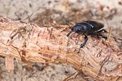 Female of beetle Stock Photos