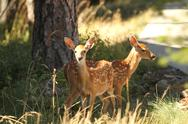 Stock Photo of Whitetail Fawns