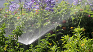 Stock Video Footage of Agapanthus Flowerbed Irrigation Spray A