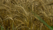 Stock Video Footage of Kansas wheat close up 3