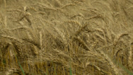 Stock Video Footage of Kansas wheat close up 4
